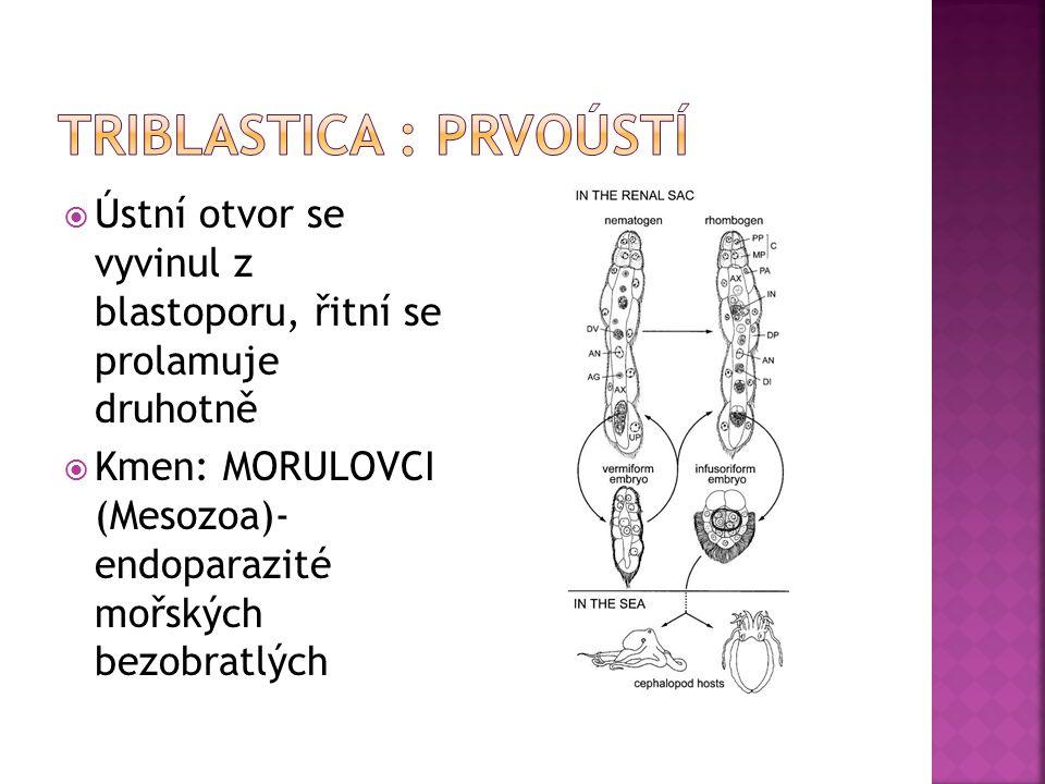  Ústní otvor se vyvinul z blastoporu, řitní se prolamuje druhotně  Kmen: MORULOVCI (Mesozoa)- endoparazité mořských bezobratlých