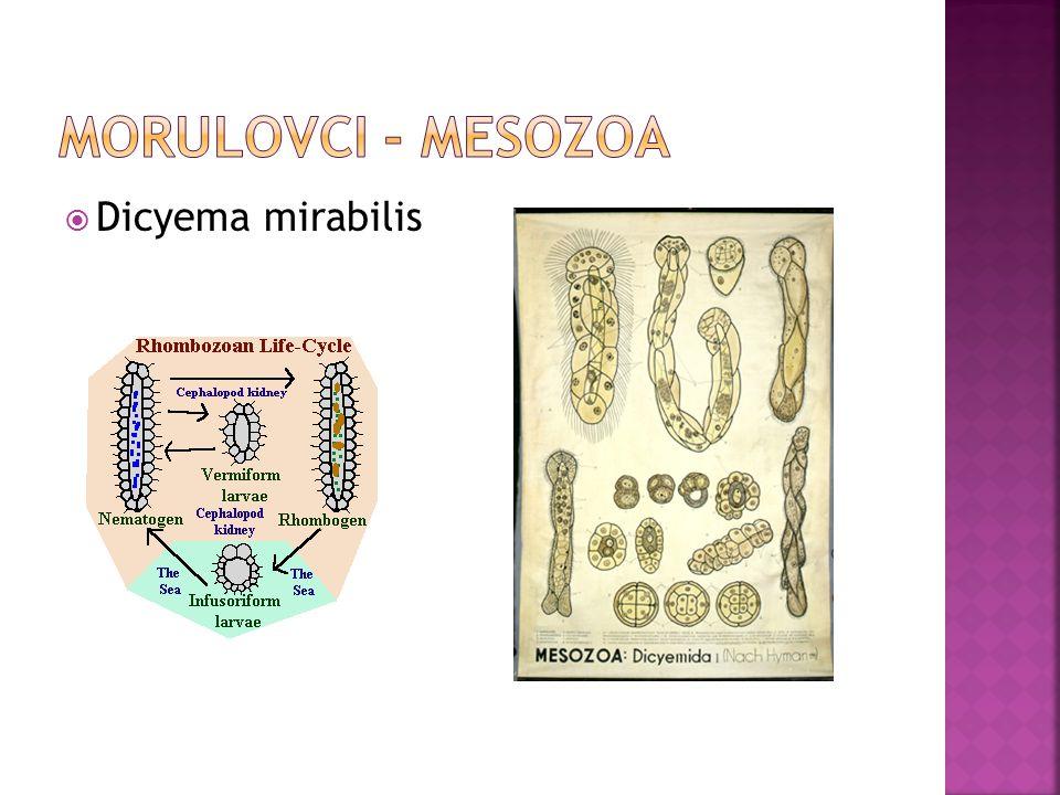  Dicyema mirabilis