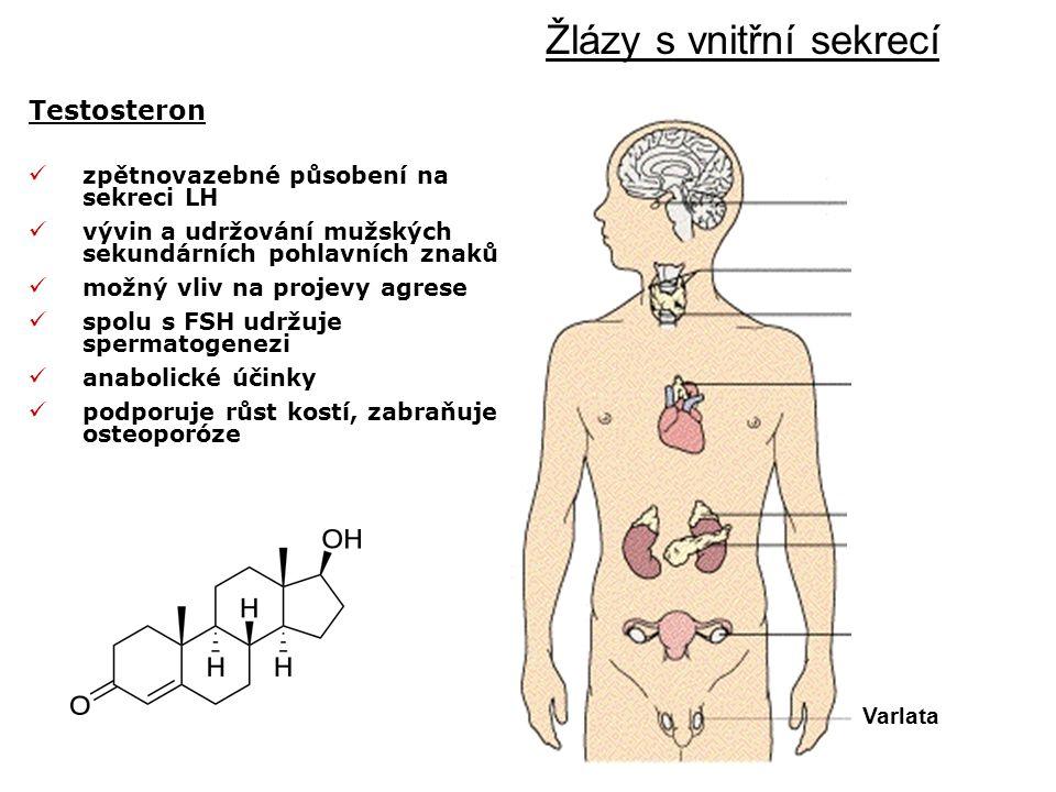 Testosteron Hypofýza Žlázy s vnitřní sekrecí Příštítná žláza Štítná žláza Brzlík Nadledvinky Slinivka Vaječníky Varlata zpětnovazebné působení na sekreci LH vývin a udržování mužských sekundárních pohlavních znaků možný vliv na projevy agrese spolu s FSH udržuje spermatogenezi anabolické účinky podporuje růst kostí, zabraňuje osteoporóze