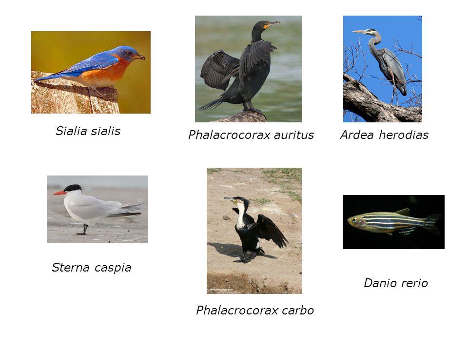 Sialia sialis Phalacrocorax auritusArdea herodias Sterna caspia Phalacrocorax carbo Danio rerio