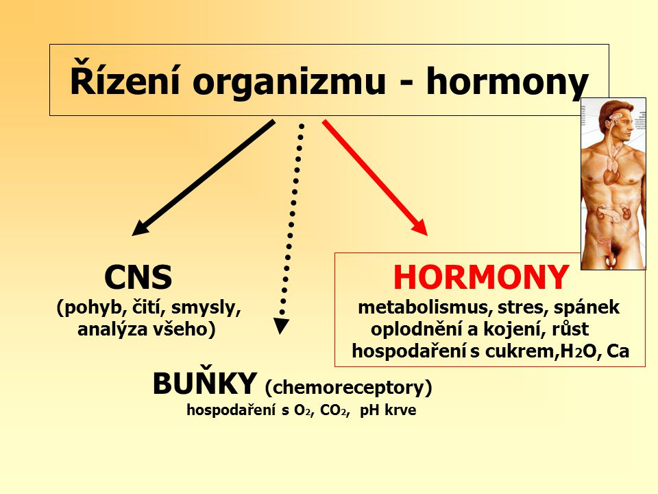 Řízení organizmu - hormony CNS HORMONY (pohyb, čití, smysly, metabolismus, stres, spánek analýza všeho) oplodnění a kojení, růst hospodaření s cukrem,H 2 O, Ca BUŇKY (chemoreceptory) hospodaření s O 2, CO 2, pH krve