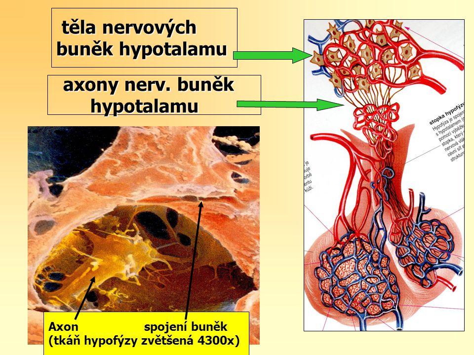 těla nervových buněk hypotalamu těla nervových buněk hypotalamu Axon spojení buněk (tkáň hypofýzy zvětšená 4300x) axony nerv. buněk axony nerv. buněk