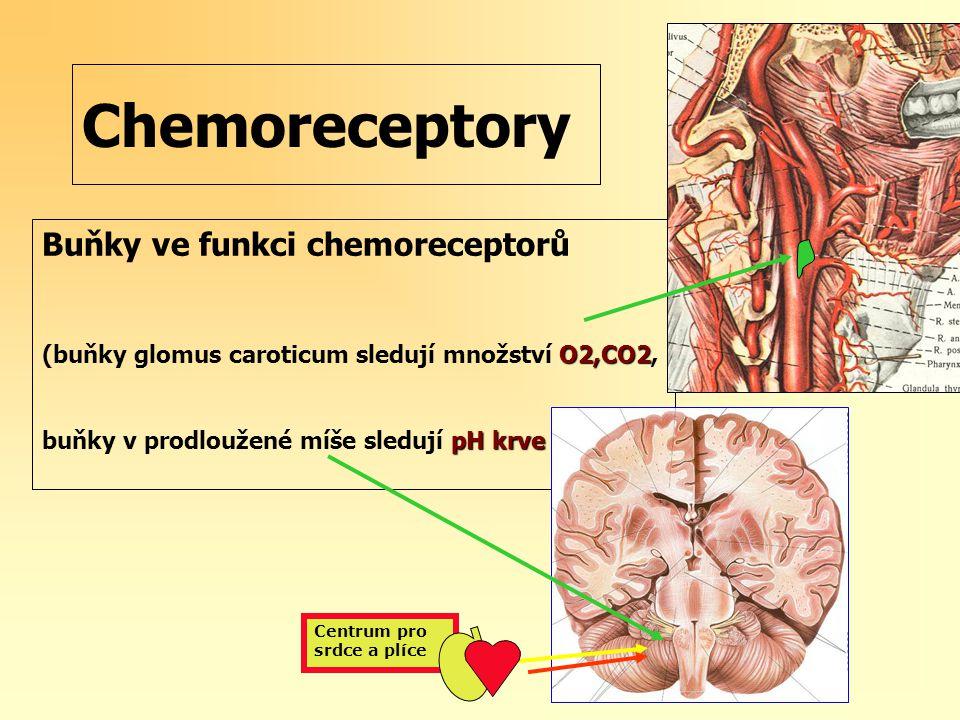 Chemoreceptory Buňky ve funkci chemoreceptorů O2,CO2 (buňky glomus caroticum sledují množství O2,CO2, pH krve buňky v prodloužené míše sledují pH krve Centrum pro srdce a plíce