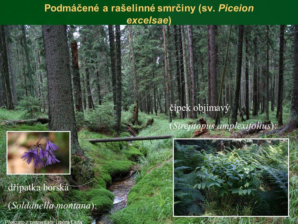 Podmáčené a rašelinné smrčiny (sv. Piceion excelsae) čípek objímavý (Streptopus amplexifolius): dřípatka horská (Soldanella montana): Převzato z preze