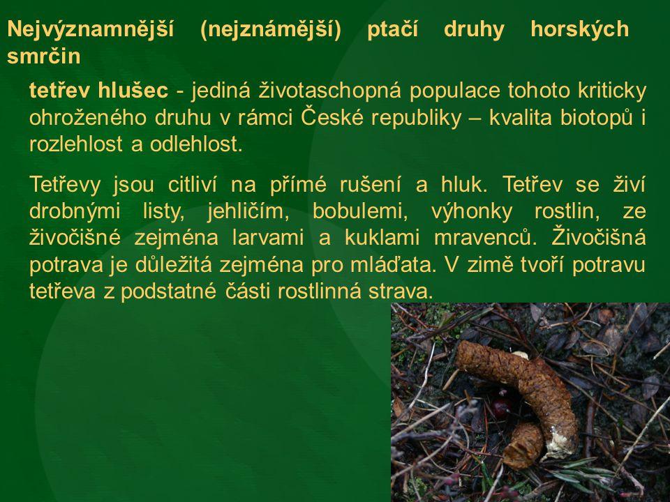 Nejvýznamnější (nejznámější) ptačí druhy horských smrčin tetřev hlušec - jediná životaschopná populace tohoto kriticky ohroženého druhu v rámci České