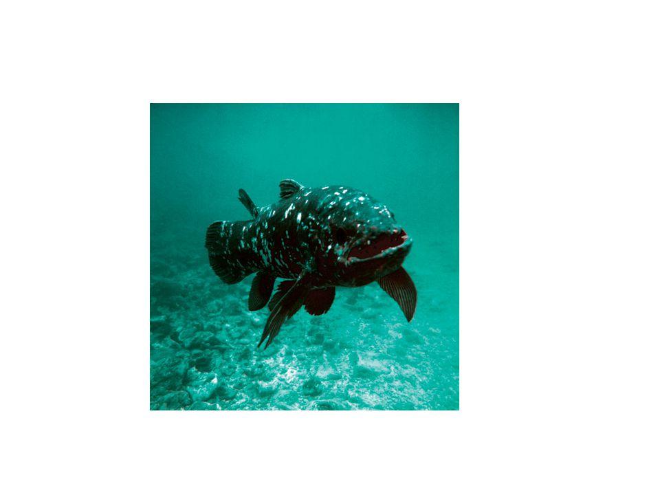 Čtverzubec Fugu Vědecká klasifikace Říše:Živočichové Kmen:Strunatci Podkmen:Obratlovci Třída:Paprskoploutví Řád:čtverzubci Čeleď:čtverzubcovití Rod:Takifugu