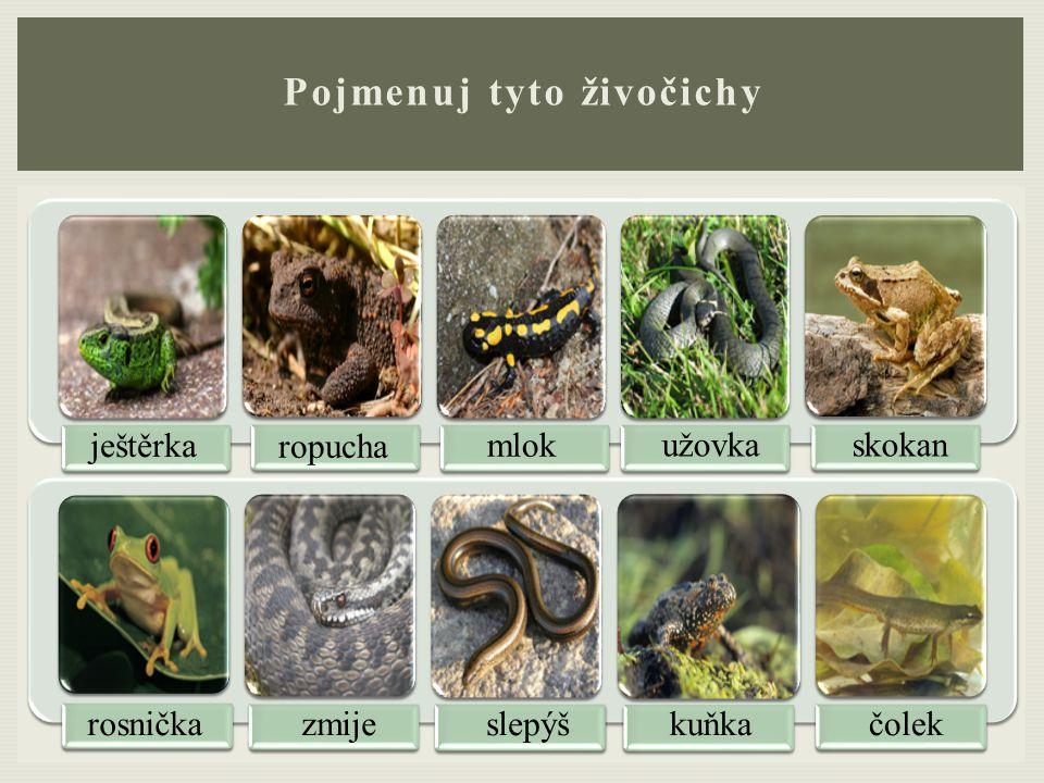 Pojmenuj tyto živočichy ještěrka ropucha mlok užovkaskokan rosničkazmijeslepýškuňkačolek