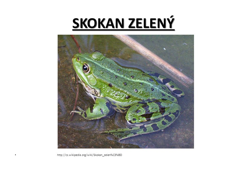 SKOKAN ZELENÝ http://cs.wikipedia.org/wiki/Skokan_zelen%C3%BD