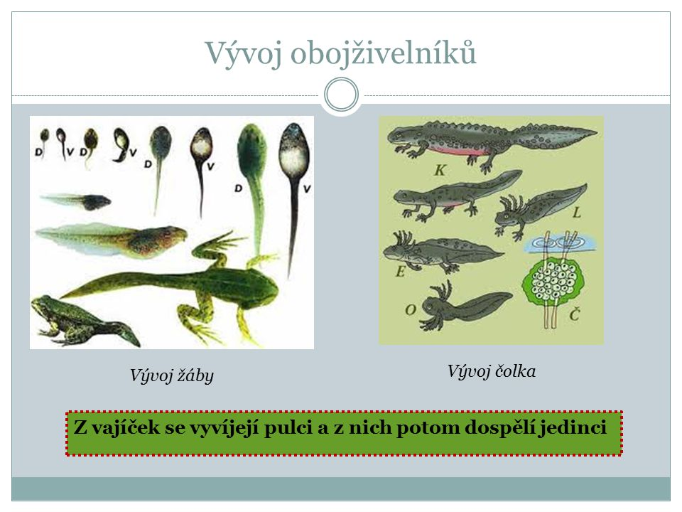 Vývoj obojživelníků Vývoj žáby Vývoj čolka Z vajíček se vyvíjejí pulci a z nich potom dospělí jedinci