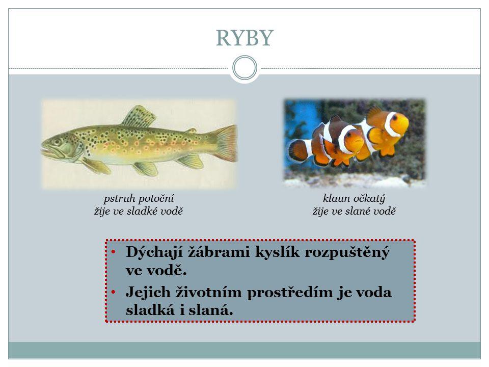 RYBY Dýchají žábrami kyslík rozpuštěný ve vodě. Jejich životním prostředím je voda sladká i slaná. pstruh potoční žije ve sladké vodě klaun očkatý žij