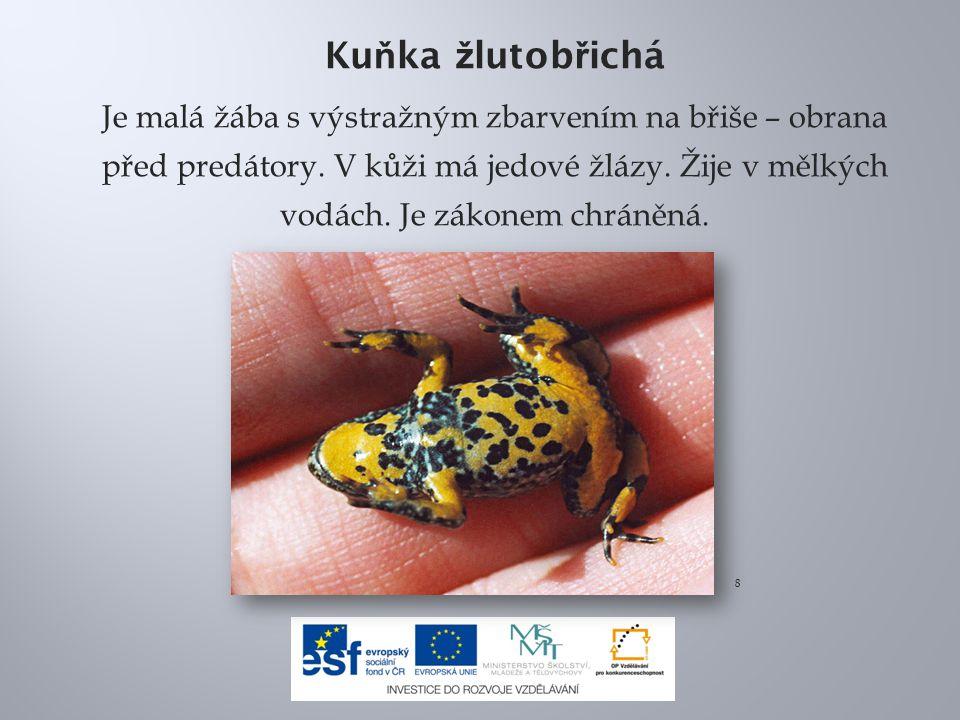 Ku ň ka ž lutob ř ichá Je malá žába s výstražným zbarvením na břiše – obrana před predátory. V kůži má jedové žlázy. Žije v mělkých vodách. Je zákonem