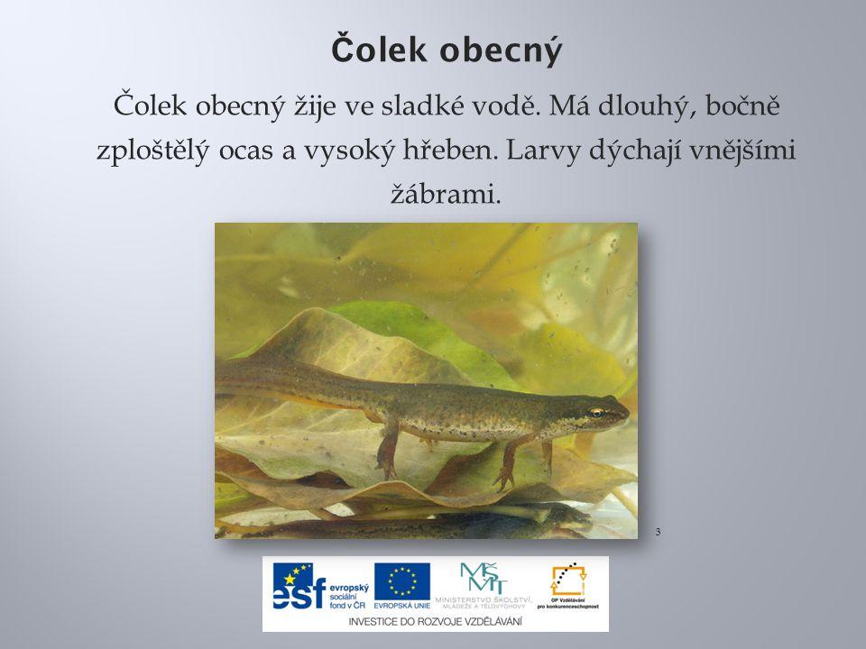 Č olek obecný Čolek obecný žije ve sladké vodě. Má dlouhý, bočně zploštělý ocas a vysoký hřeben. Larvy dýchají vnějšími žábrami. 3