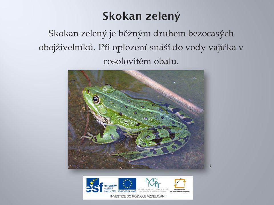 Skokan zelený Skokan zelený je běžným druhem bezocasých obojživelníků. Při oplození snáší do vody vajíčka v rosolovitém obalu. 4