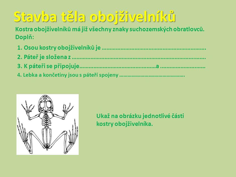 Stavba těla obojživelníků Kostra obojživelníků má již všechny znaky suchozemských obratlovců. Doplň: 1. Osou kostry obojživelníků je ……………………………………………