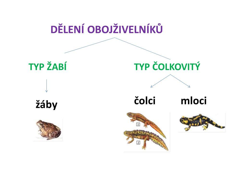 DĚLENÍ OBOJŽIVELNÍKŮ TYP ŽABÍTYP ČOLKOVITÝ čolcimloci žáby