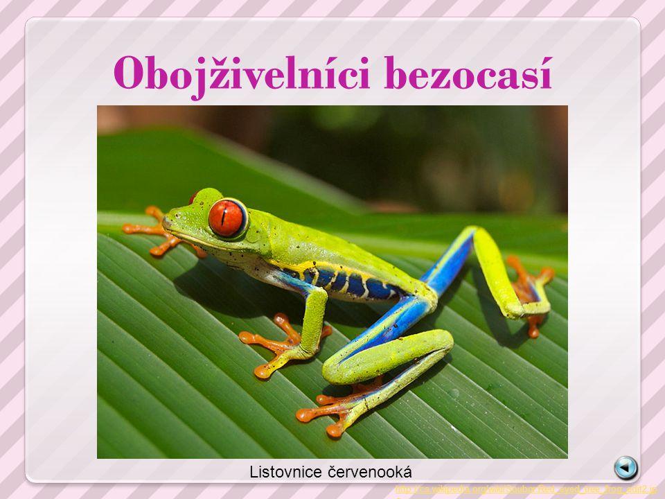 Obojživelníci bezocasí http://cs.wikipedia.org/wiki/Soubor:Red_eyed_tree_frog_edit2.jp g Listovnice červenooká