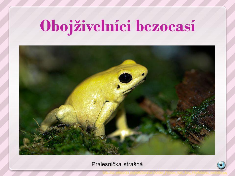 Obojživelníci bezocasí http://cs.wikipedia.org/wiki/Soubor:Golden_Poison_dart_frog_Phyllobates_terribilis.jpg Pralesnička strašná