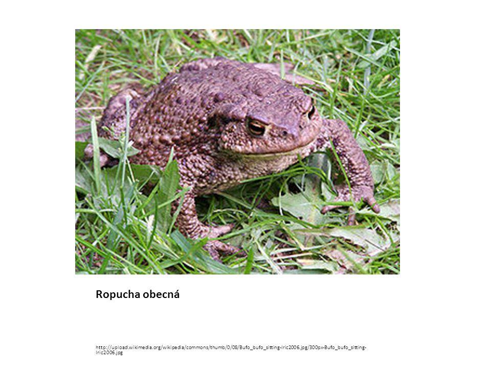 Ropucha obecná http://upload.wikimedia.org/wikipedia/commons/thumb/0/08/Bufo_bufo_sitting-Iric2006.jpg/300px-Bufo_bufo_sitting- Iric2006.jpg