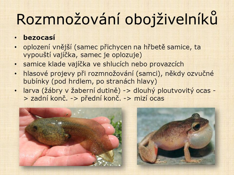 Rozmnožování obojživelníků bezocasí oplození vnější (samec přichycen na hřbetě samice, ta vypouští vajíčka, samec je oplozuje) samice klade vajíčka ve shlucích nebo provazcích hlasové projevy při rozmnožování (samci), někdy ozvučné bubínky (pod hrdlem, po stranách hlavy) larva (žábry v žaberní dutině) -> dlouhý ploutvovitý ocas - > zadní konč.