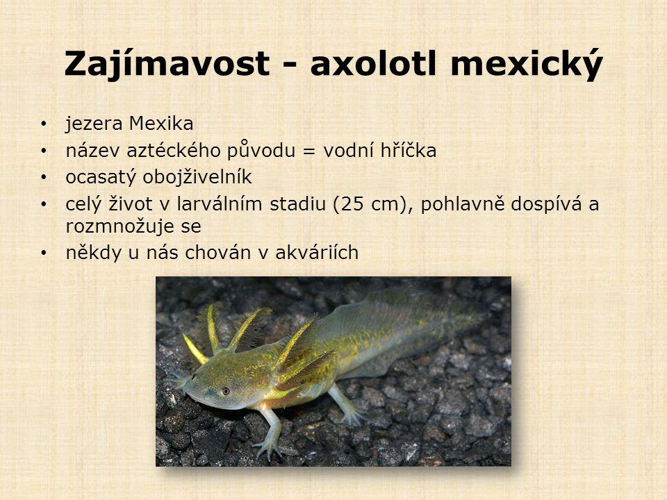 Zajímavost - axolotl mexický jezera Mexika název aztéckého původu = vodní hříčka ocasatý obojživelník celý život v larválním stadiu (25 cm), pohlavně dospívá a rozmnožuje se někdy u nás chován v akváriích