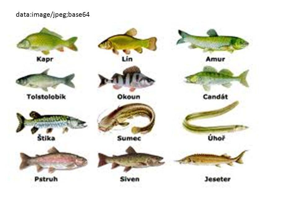 Ryby Popište prostředí, ve kterém ryby žijí Čím mají ryby pokryté tělo, má to pro ně nějaký význam.