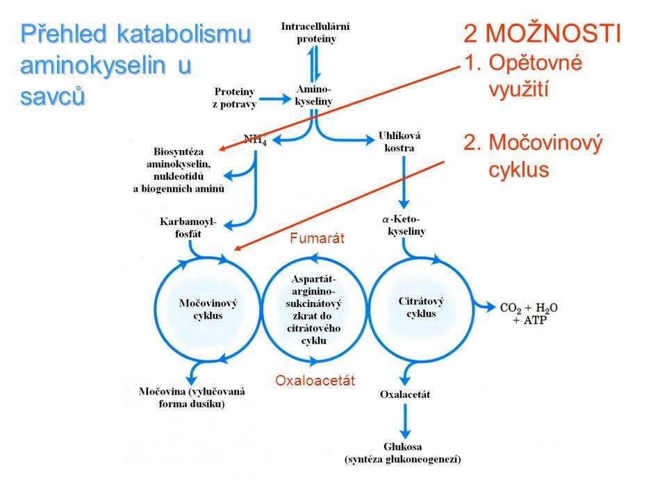 2 MOŽNOSTI 1.Opětovné využití 2.Močovinový cyklus Přehled katabolismu aminokyselin u savců Fumarát Oxaloacetát