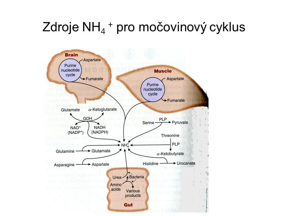 Zdroje NH 4 + pro močovinový cyklus