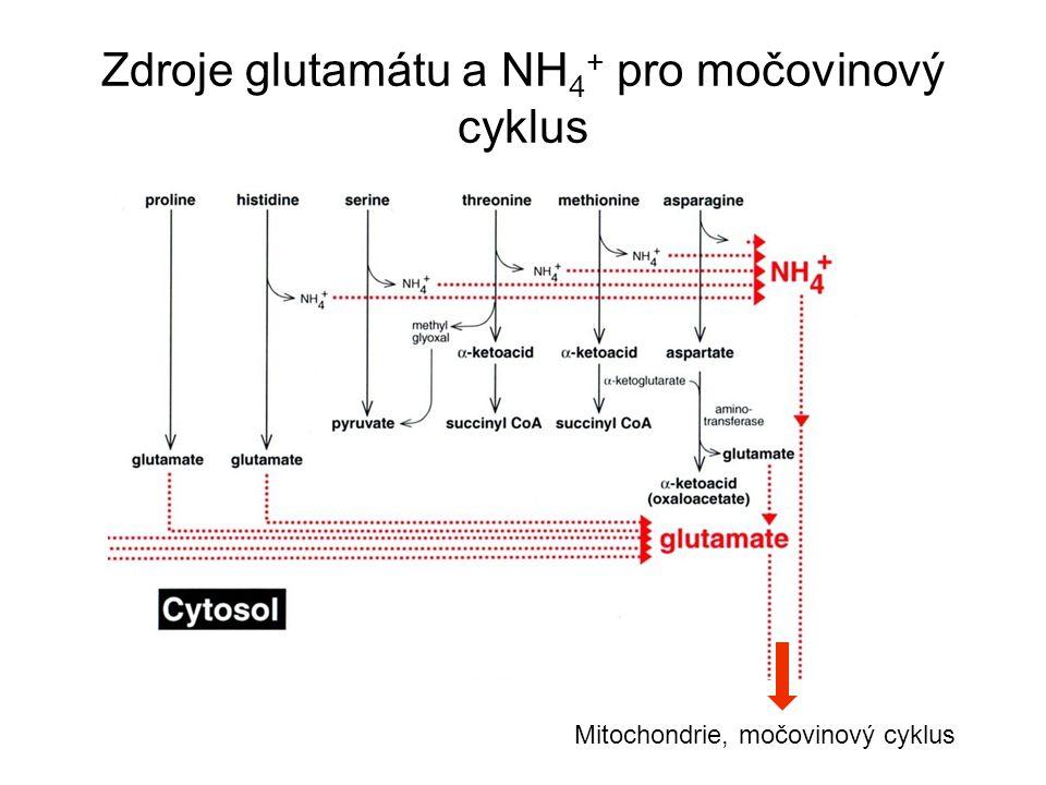Mitochondrie, močovinový cyklus