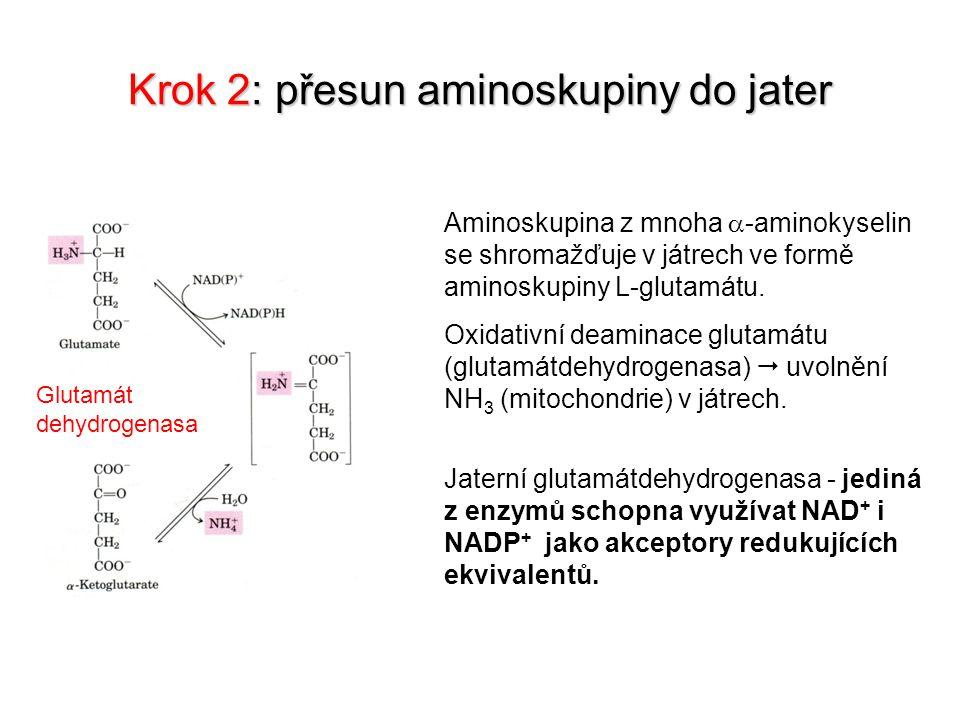 Krok 2: přesun aminoskupiny do jater Glutamát dehydrogenasa Aminoskupina z mnoha  -aminokyselin se shromažďuje v játrech ve formě aminoskupiny L-glut