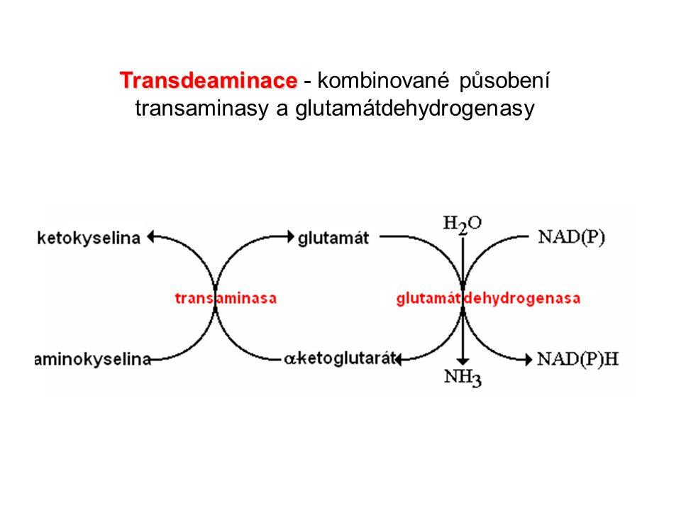 Transdeaminace Transdeaminace - kombinované působení transaminasy a glutamátdehydrogenasy