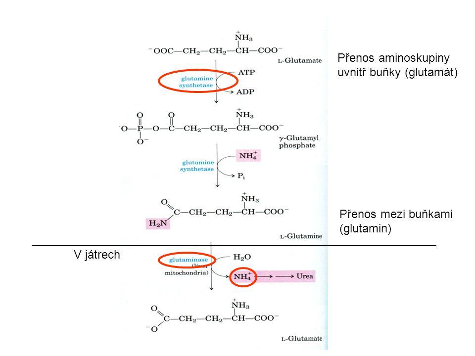 Přenos aminoskupiny uvnitř buňky (glutamát) V játrech Přenos mezi buňkami (glutamin)