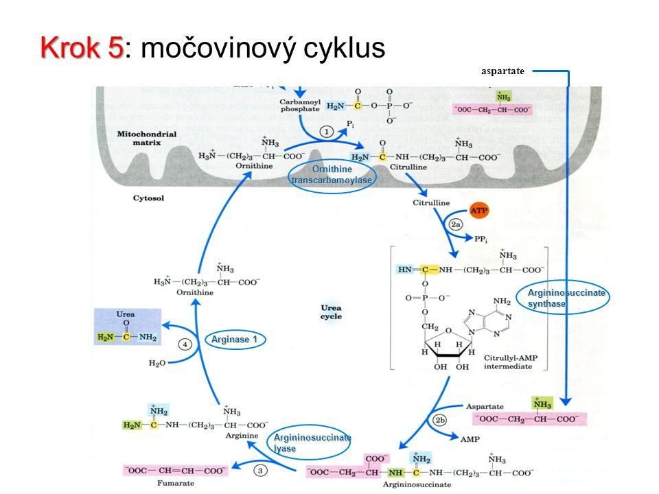 Krok 5 Krok 5: močovinový cyklus aspartate Ornithine transcarbamoylase Argininosuccinate synthase Argininosuccinate lyase Arginase 1