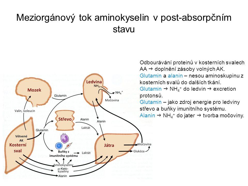 Meziorgánový tok aminokyselin v post-absorpčním stavu Odbourávání proteinů v kosterních svalech AA  doplnění zásoby volných AK. Glutamin a alanin – n