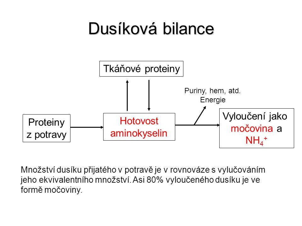 Dusíková bilance Tkáňové proteiny Proteiny z potravy Hotovost aminokyselin Vyloučení jako močovina a NH 4 + Puriny, hem, atd. Energie Množství dusíku