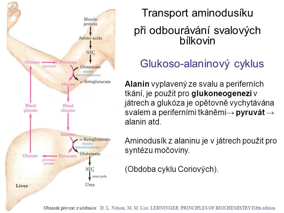 Glukoso-alaninový cyklus Transport aminodusíku při odbourávání svalových bílkovin Alanin vyplavený ze svalu a periferních tkání, je použit pro glukone