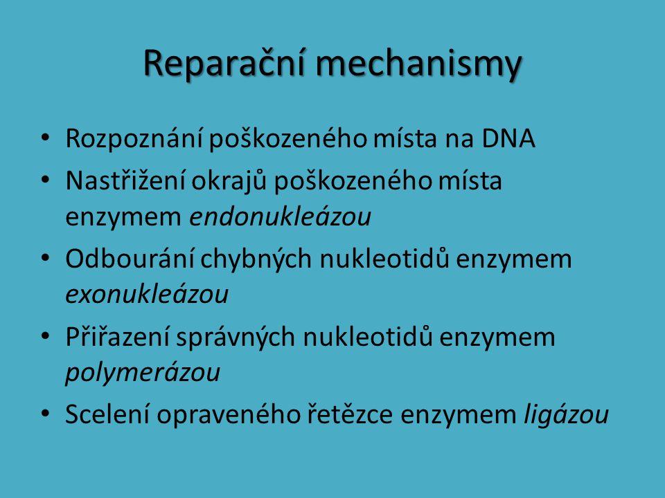 Reparační mechanismy Rozpoznání poškozeného místa na DNA Nastřižení okrajů poškozeného místa enzymem endonukleázou Odbourání chybných nukleotidů enzym