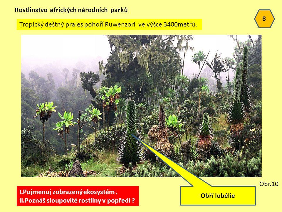 8 Rostlinstvo afrických národních parků Tropický deštný prales pohoří Ruwenzori ve výšce 3400metrů.