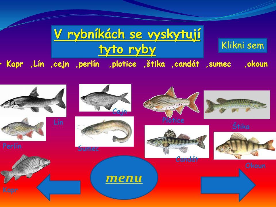V rybníkách se vyskytují tyto ryby Kapr,Lín,cejn,perlín,plotice,štika,candát,sumec,okoun menu Lín Kapr Cejn Perlín Plotice Štika Candát Sumec Okoun Kl