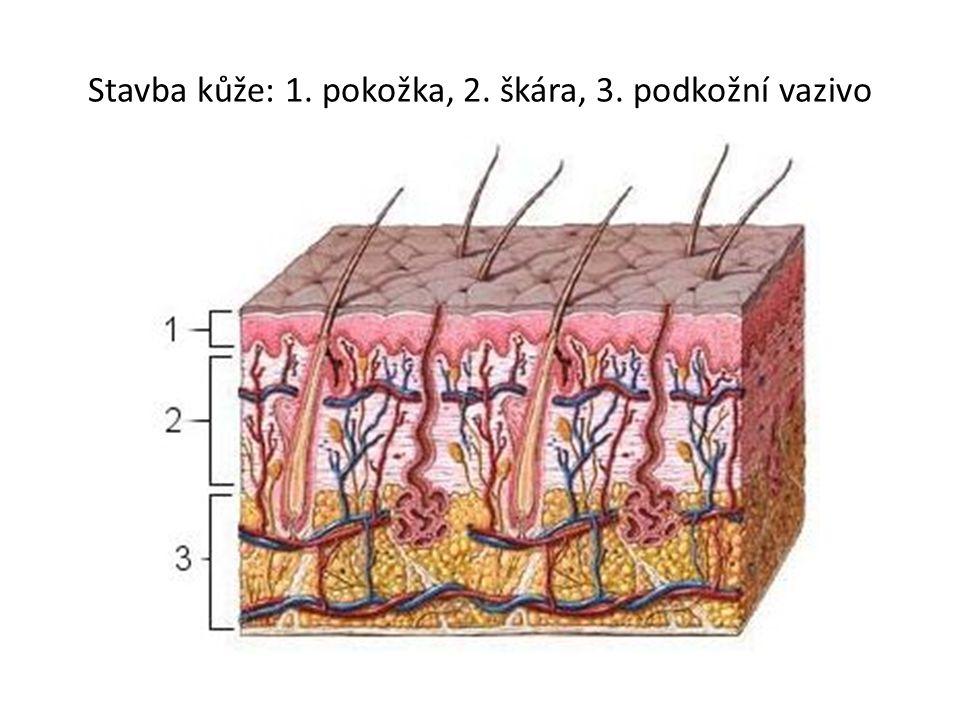 Stavba kůže: 1. pokožka, 2. škára, 3. podkožní vazivo