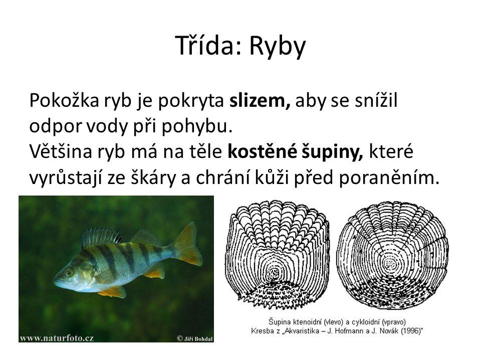 Třída: Ryby Pokožka ryb je pokryta slizem, aby se snížil odpor vody při pohybu. Většina ryb má na těle kostěné šupiny, které vyrůstají ze škáry a chrá