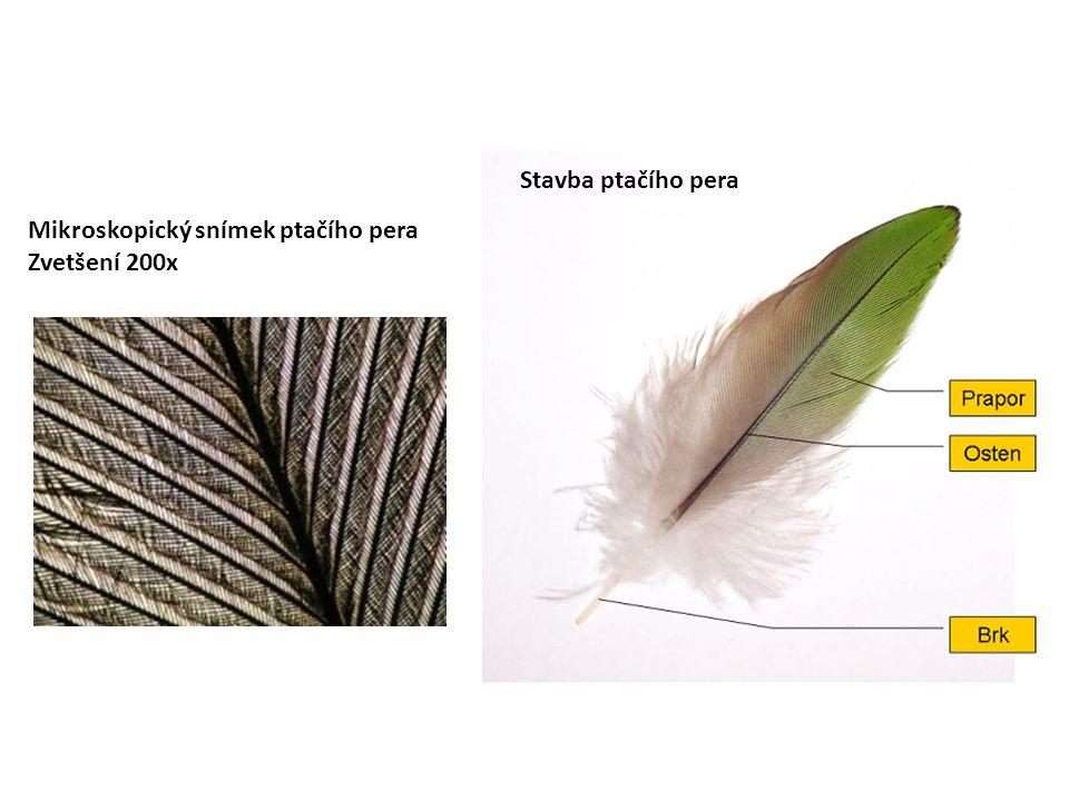 Mikroskopický snímek ptačího pera Zvetšení 200x Stavba ptačího pera