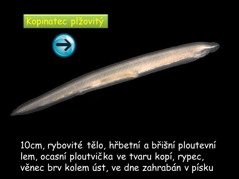 Kopinatec plžovitý 10cm, rybovité tělo, hřbetní a břišní ploutevní lem, ocasní ploutvička ve tvaru kopí, rypec, věnec brv kolem úst, ve dne zahrabán v