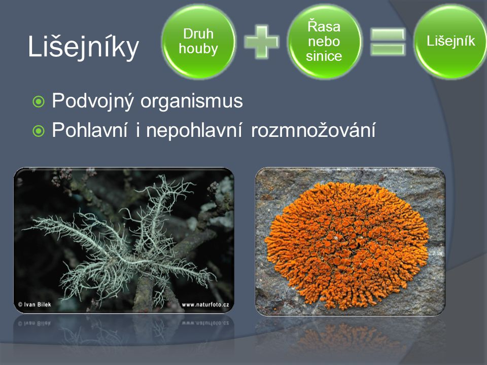 Lišejníky  Podvojný organismus  Pohlavní i nepohlavní rozmnožování Druh houby Řasa nebo sinice Lišejník