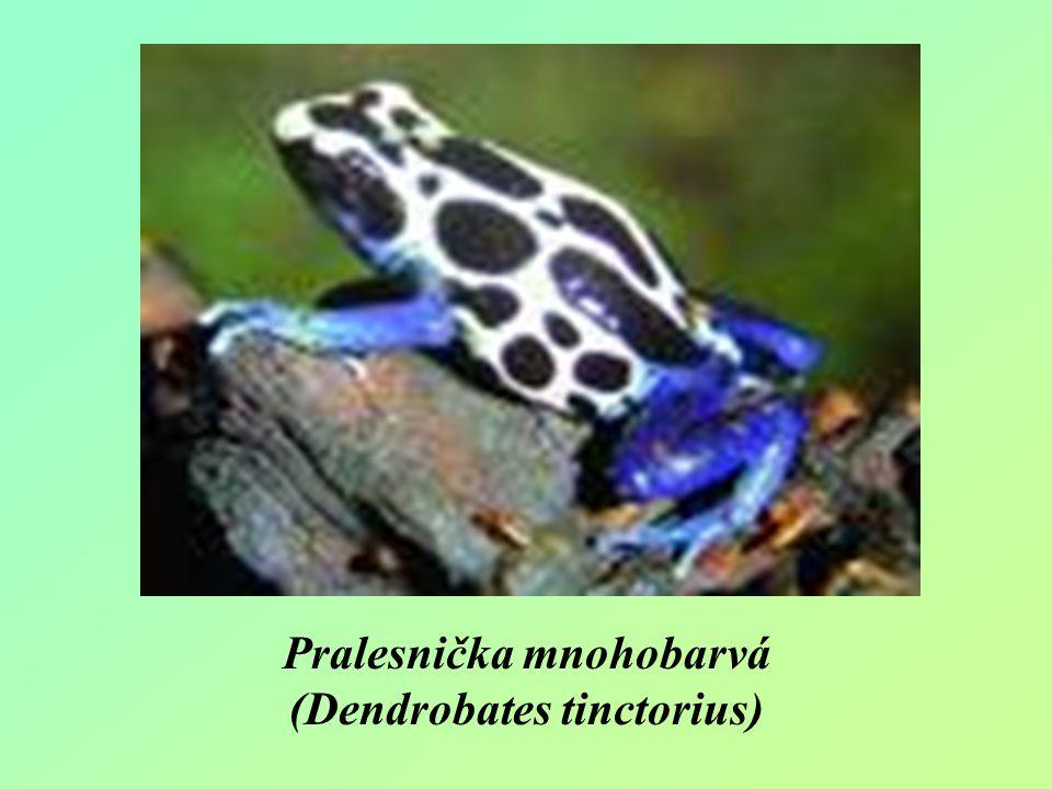 Pralesnička mnohobarvá (Dendrobates tinctorius)