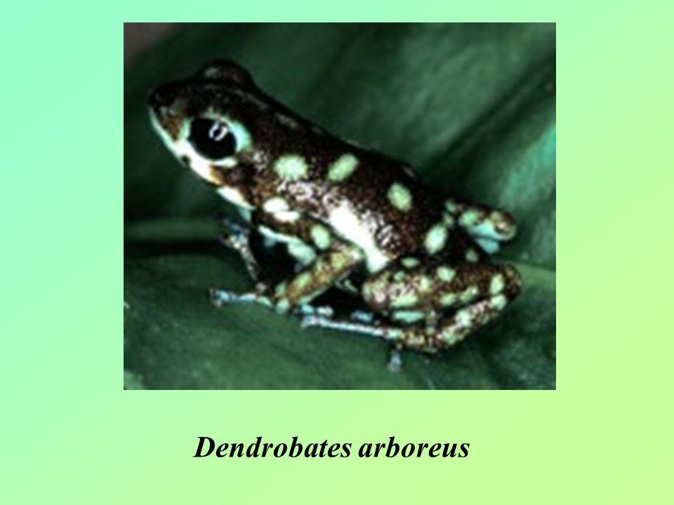 Dendrobates arboreus