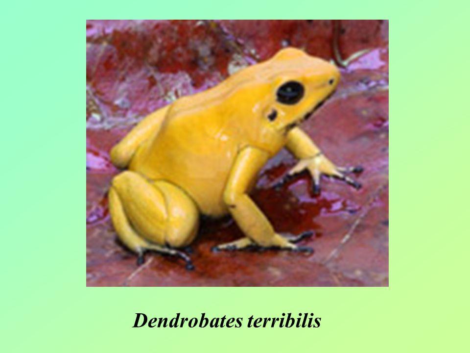 Dendrobates terribilis