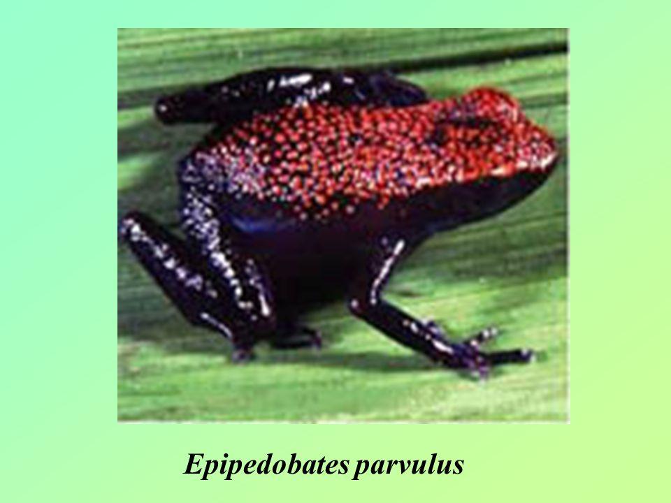 Epipedobates parvulus