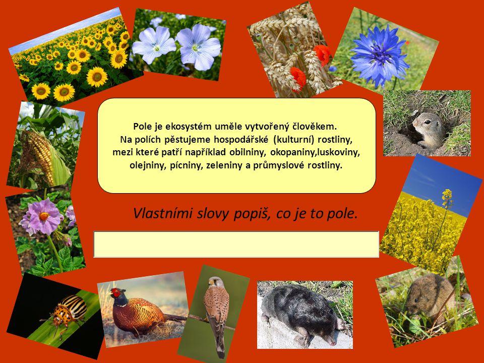Mezi nejdůležitější polní plodiny patří OBILNINY.Vyjmenuj 5 základních druhů.