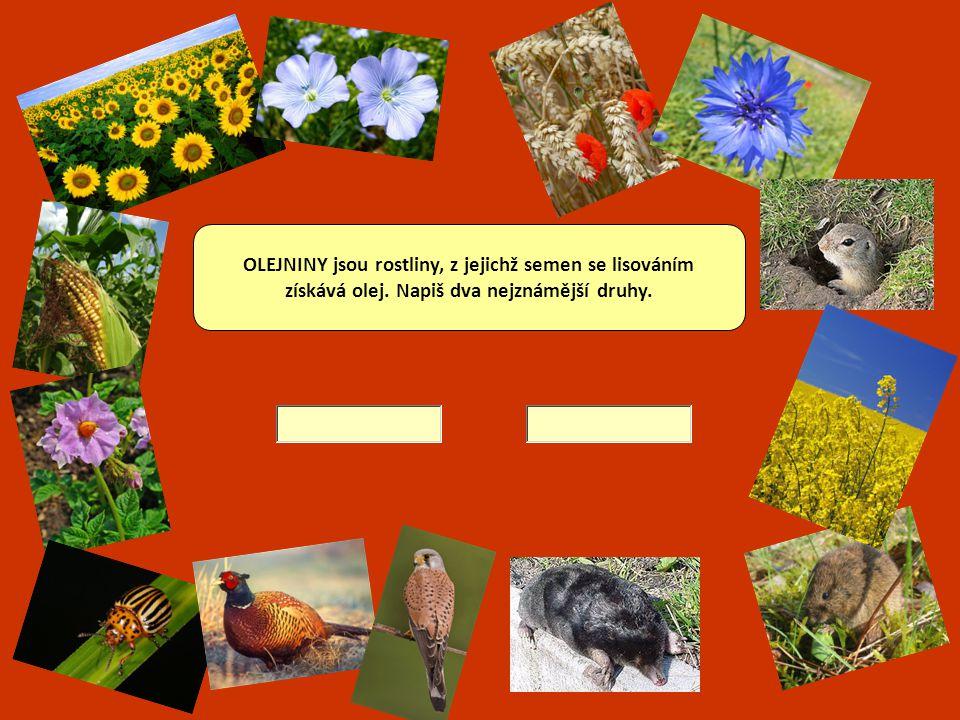 PÍCNINY se používají ke krmení hospodářských zvířat. Vyjmenuj 2 zástupce.