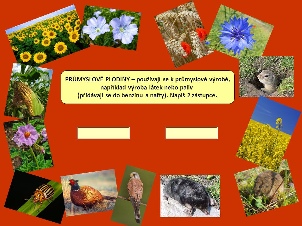 PLEVELE – plané rostliny, které rostou na polích.